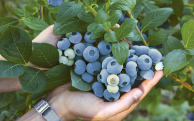 T&G Global Secures Exclusive Commercialisation Rights For Blueberry Varieties in Australia